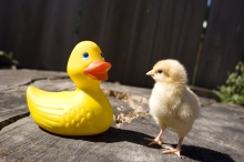 First Impression Chick Meets Rubber Duck